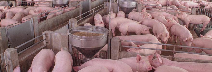 Alimentation des porcins